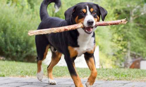 Shutterstock_307903742_sennenhund