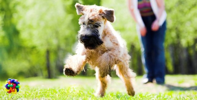 Running Dog On Green Grass And Ball (Irish Soft Coated Wheaten Terrier)